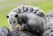العثور في جزيرة كانغارو على حيوان «أبوسوم» القزم المهدد بالانقراض.